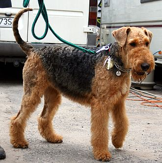 Airedale Terrier - This Airedale's tail is natural (undocked)