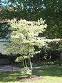 Wzwz tree 07a Cornus controversa 'Variegata'.jpg