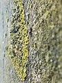 Xanthoria calcicola 57150484.jpg