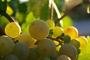 Image of Xarel lo grapes used to make Cava.