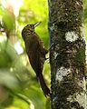 Xiphorhynchus erythropygius -NW Ecuador-8.jpg
