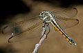 Yellow-tailed Ashy Skimmer (Potamarcha congener) W IMG 3818.jpg