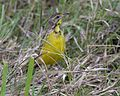 Yellow-throated Longclaw (Macronyx croceus) sam - Flickr - Lip Kee.jpg
