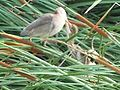 Yellow Bittern (Ixobrychus sinensis) feeds to child bird at Chiba JPN.jpg
