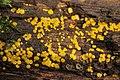 Yellow Fairy Cups - Bisporella cf. citrina (24046070518).jpg
