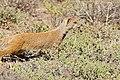 Yellow Mongoose (Cynictis penicillata) (32184227134).jpg