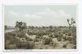 Yucca Trees, Mojave, Calif (NYPL b12647398-69726).tiff