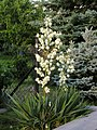 Yucca filamentosa 1.jpg