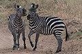 Zebras (28175952761).jpg