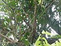 Zhaojiabao - longyan tree - P1260204.JPG