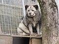 Zoo des 3 vallées - Renard polaire - 2015-01-02 - i3381.jpg