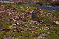 Zoothera aurea, Kobe-shi, Japan 5.jpg