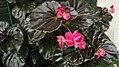 """""""Begonia Semperflorens"""".jpg"""