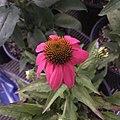'PowWow Wild Berry' echinacea IMG 7743 copy.jpg