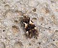 (0774) Teleiodes luculella - Flickr - Bennyboymothman.jpg