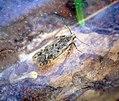 (0782) Bryotropha senectella (35119173364).jpg