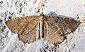 (1791) Brown Scallop (Philereme vetulata) - Flickr - Bennyboymothman.jpg