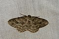 (1947) The Engrailed (Ectropis bistortata) (3686017862).jpg
