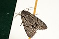 (2284) Grey Dagger (Acronicta psi) (3705674225).jpg