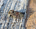 (2338) Rufous Minor (Oligia versicolor) (19196327670).jpg