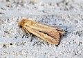 (2373) Webb's Wainscot (Archanara sparganii) (9584258156).jpg