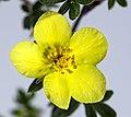 (MHNT) Dasiphora fruticosa ssp. floribunda - blossom.jpg