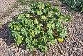 (MHNT) Malva parviflora - Habitus.jpg