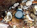 (Porpita porpita) Blue button at Thotlakonda Beach 10.JPG