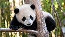 ¡Panda en peligro de extinción!.jpg