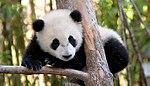 ¡Panda en peligro de extinción!