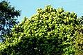 Árbol lira (Ficus lyrata) (14935856376).jpg