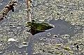 Вербне озеро Жаба озерна DSC 00901.jpg
