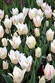Виставка тюльпанів 06.JPG
