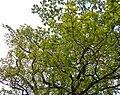 Дуби — Голосіївські велетні, молоде листя.jpg
