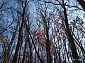 Еталонна діброва Вінницьке лісництво 8.jpg