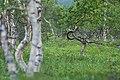Искривленная береза в лесотундре Северного Урала.jpg