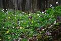 """Килим весняних квітів в урочищі """"Зіньків камінь"""".jpg"""