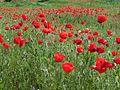 Красная Поляна - panoramio.jpg