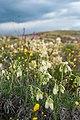 Крейдова флора-оносма донська.jpg