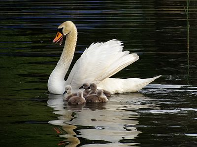 Mother swan with her cygnets in Lake Ohrid