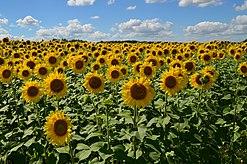 Поле сельское хозяйство Википедия Поле подсолнечника