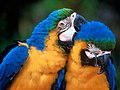 Сине-жёлтый ара (Ara ararauna).jpg