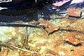 Сирецький дендропарк Золоті рибки IMG 7742.jpg