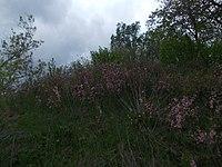 Степная вишня и степной миндаль.JPG