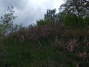 Sterlibashevsky District - Thickets of steppe cherry, Sterlibashevsky District