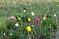 Тюльпаны в оренбургских степях 4.jpg