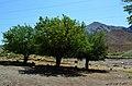 درختانی برای استراحت - panoramio.jpg