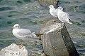 رفتار مرغان دریایی نوروزی یا یاعو در کشور عمان، شهر مسقط، ساحل دریای عمان - عکس مصطفی معراجی 24.jpg