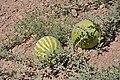 هندوانه دیم در روستای زالی عکس از احمد نیک گفتار.JPG