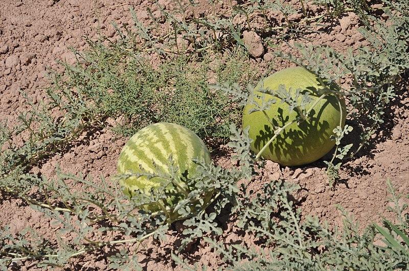 پرونده:هندوانه دیم در روستای زالی عکس از احمد نیک گفتار.JPG